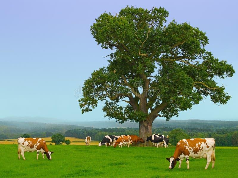 Mucche nebbiose immagine stock