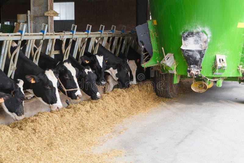 Mucche nel cibo stabile con l'autocisterna dell'alimentazione verde fotografia stock