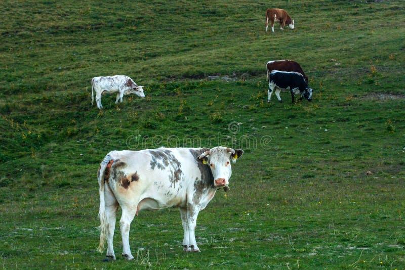 Mucche nel Dolomities fotografia stock