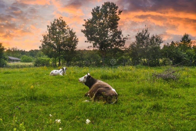 Mucche nella posizione di riposo sul prato verde al tramonto Foto di riserva disegnata con paesaggio rurale in Romania fotografia stock