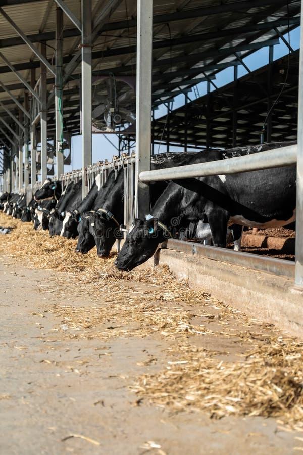 Mucche nella stalla fotografia stock libera da diritti
