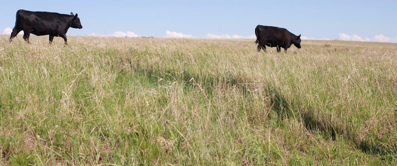 Mucche nere del Angus che pascono immagine stock libera da diritti