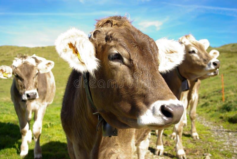 Mucche in pascolo fotografie stock libere da diritti