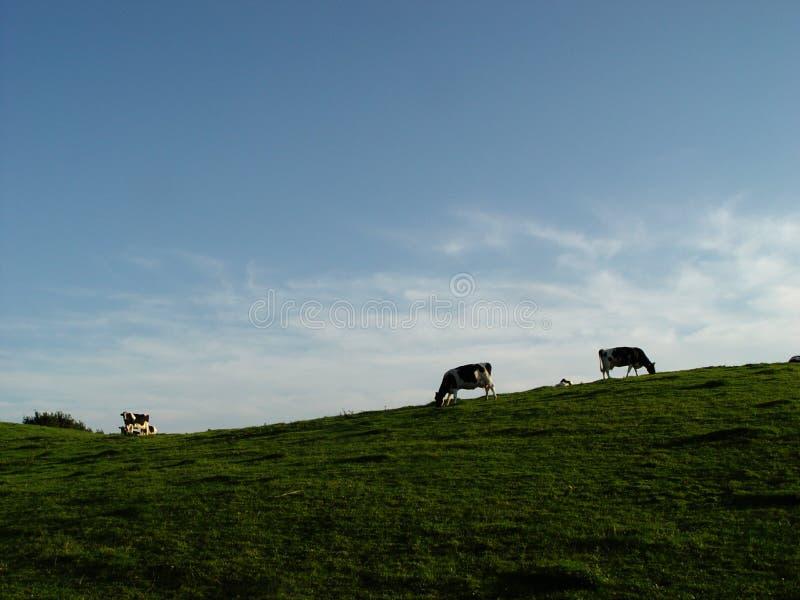 mucche, prato, cielo fotografie stock