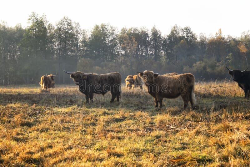 Mucche in prato soleggiato immagini stock