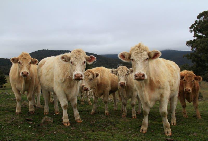 Mucche in recinto chiuso immagine stock libera da diritti