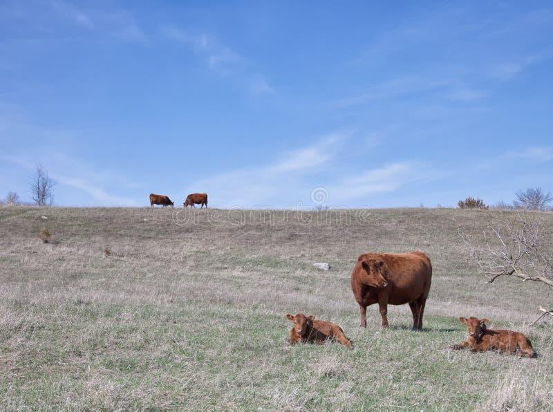 Mucche rosse di angus con i vitelli fotografie stock