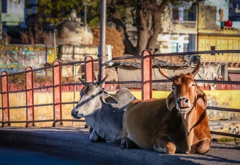Mucche sante immagini stock