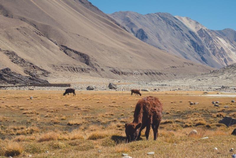 Mucche selvagge che mangiano le erbe in un campo con le montagne e nel fondo del cielo blu in Ladakh fotografia stock libera da diritti