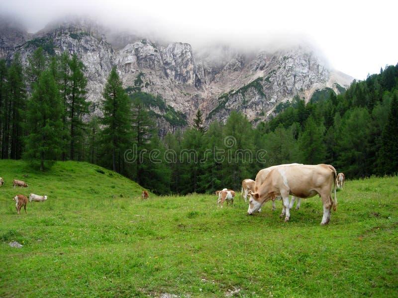 Mucche in Slovenia fotografia stock libera da diritti