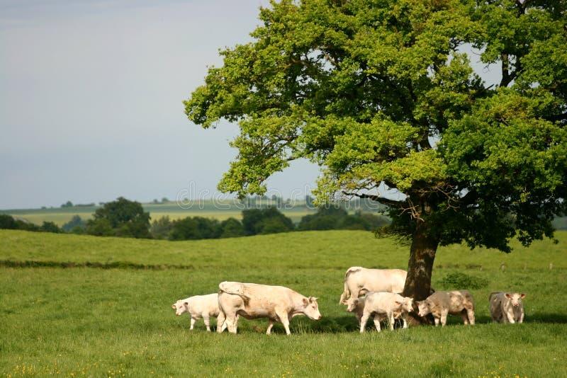 Mucche sotto un albero fotografie stock