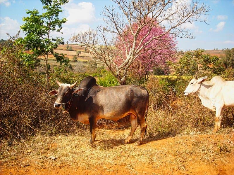 mucche su un campo nel Vietnam immagine stock libera da diritti