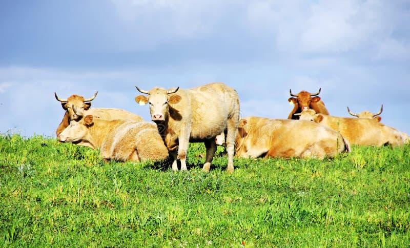 Mucche sul campo verde fotografia stock