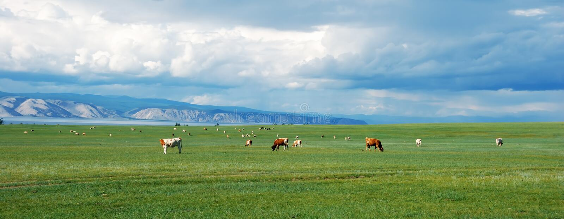 Mucche sul campo verde fotografie stock libere da diritti