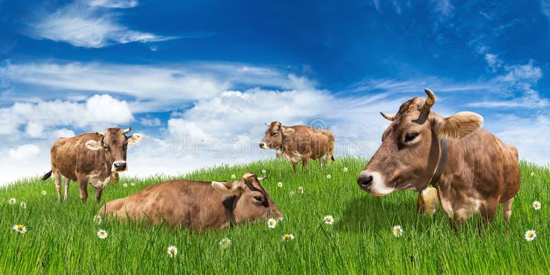 Mucche sul prato immagine stock