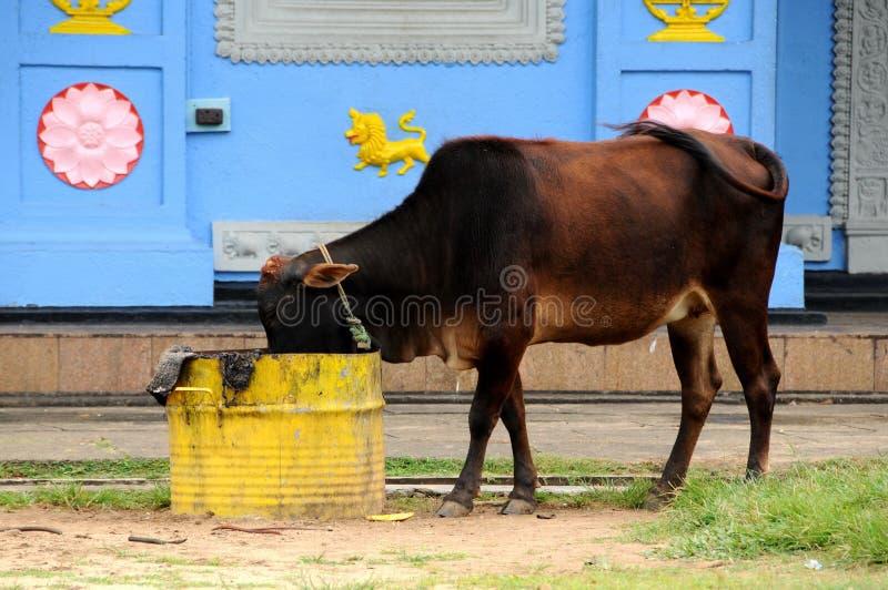 Mucche sulle vie di Colombo immagine stock libera da diritti