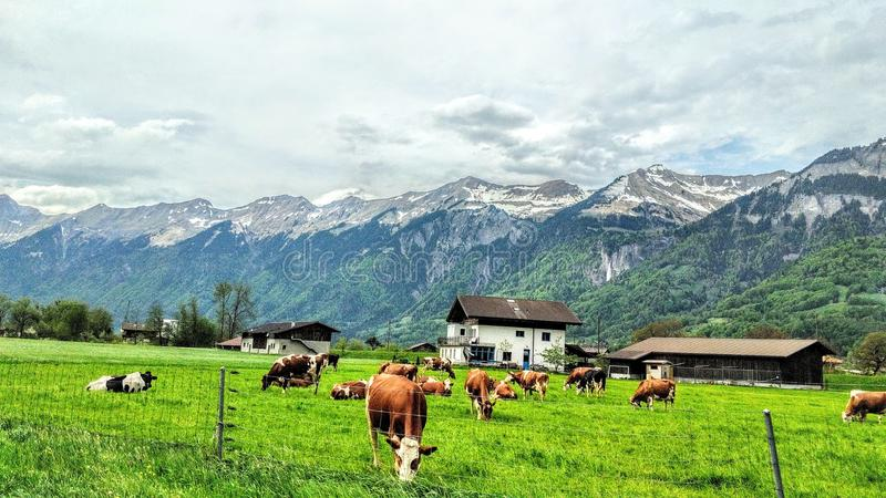 Mucche svizzere in Svizzera Interlaken immagine stock