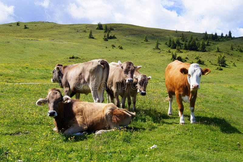 Mucche in un alpino fotografia stock
