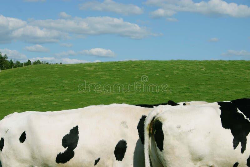 Mucche in un campo fotografie stock