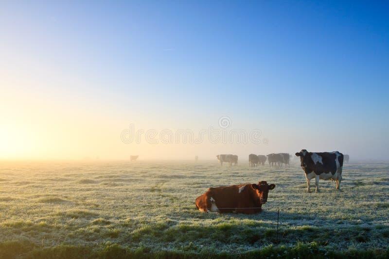 Mucche in un paesaggio di inverno immagine stock