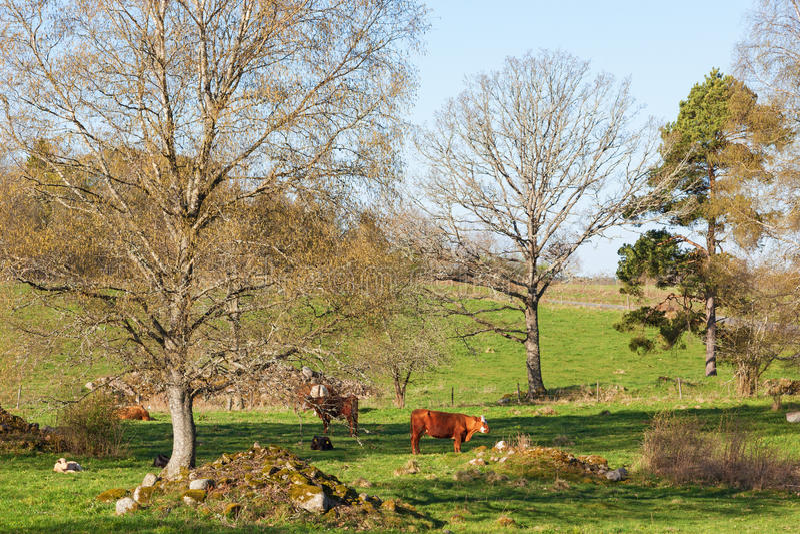 Mucche in un prato immagine stock