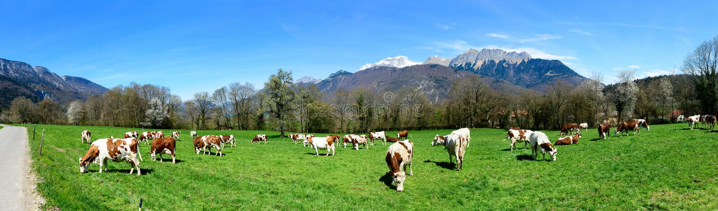 Mucche in un prato fotografia stock libera da diritti