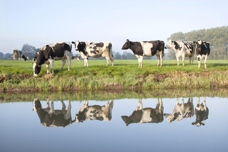 Mucche in un prato vicino allo zeist nei Paesi Bassi fotografia stock