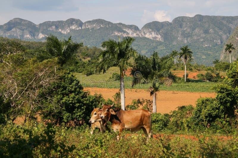 Mucche in valle di Viñales (Cuba) fotografia stock libera da diritti
