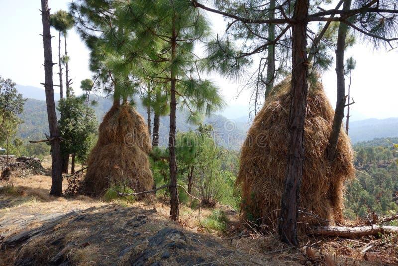 Mucchi himalayani di Hay Drying in pini fotografia stock libera da diritti