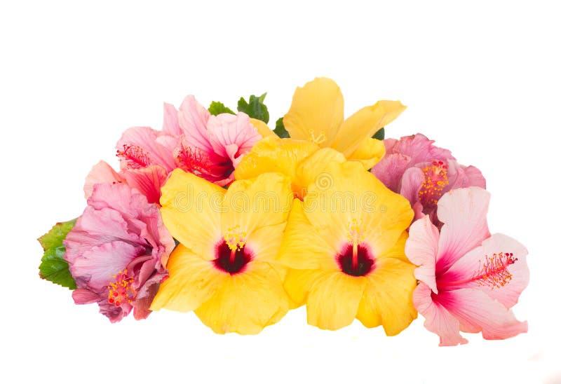 Mucchio dei fiori dell'ibisco immagine stock libera da diritti