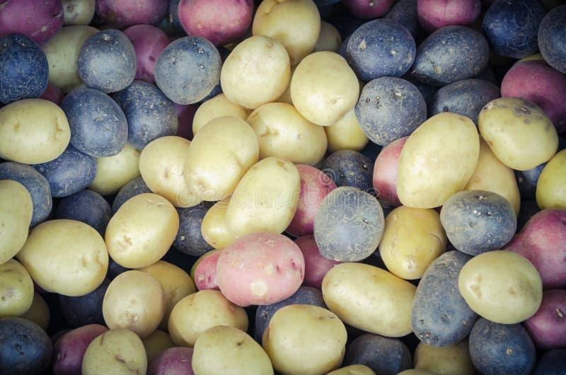 Mucchio del fondo misto organico delle patate dell'arcobaleno di miscuglio fotografia stock