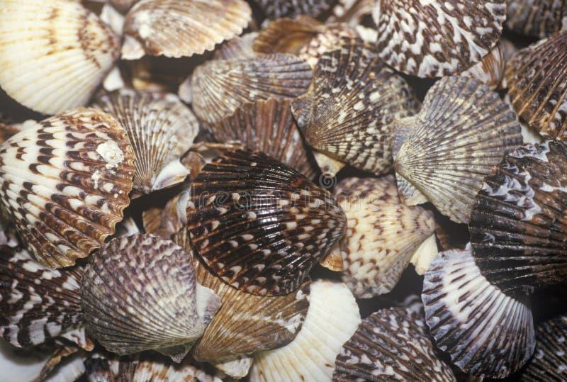 Mucchio delle conchiglie, Ft Myers, Florida immagine stock libera da diritti