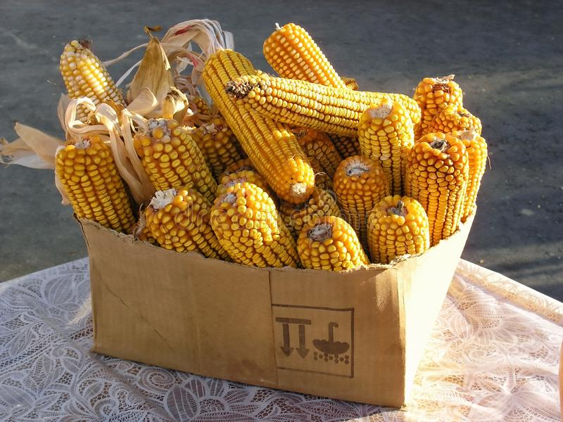 Mucchio delle orecchie gialle asciutte del mais del cereale in una fine della scatola su immagine stock