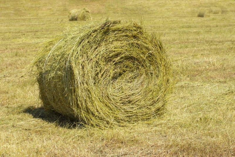 Mucchio di fieno giallo torto in un rotolo su un campo agricolo Raccolta della paglia in grande bobina rotonda immagini stock libere da diritti