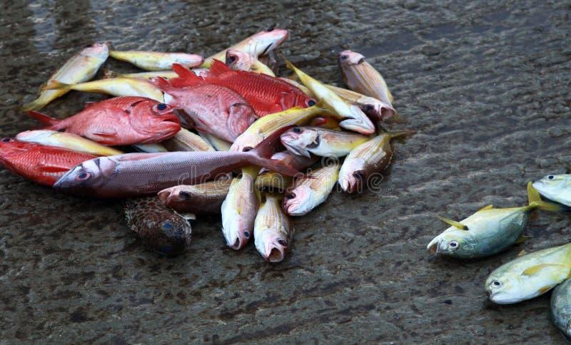 Mucchio di piccoli pesci differenti pescati variopinti con il dentice sul mercato vicino a Hikkaduwa, Sri Lanka immagine stock libera da diritti