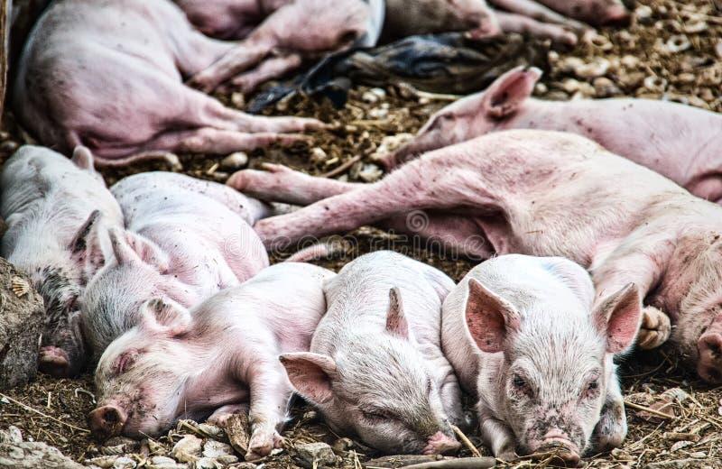 Mucchio di sonno dei porcellini fotografia stock