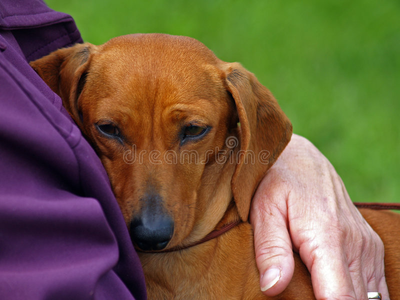 Much Loved Dachshund. A much loved Dachshund safe in his owners arms stock images