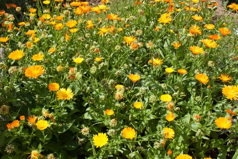 Much yellow and orange calendula flowers in nature. wallpaper royalty free stock photos