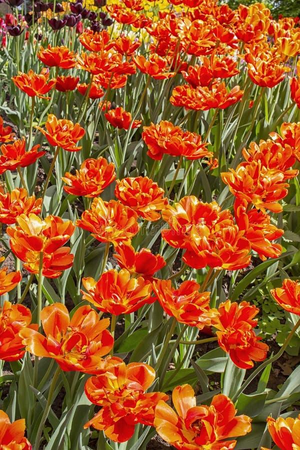 Mucha flor doble de la peonía de los tulipanes rojos del pelirrojo, foto vertical de la postal del fondo fotografía de archivo libre de regalías