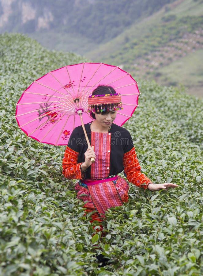 Muchacha étnica de la minoría de Hmong del vietnamita en brote tradicional del té de la cosecha del traje imágenes de archivo libres de regalías