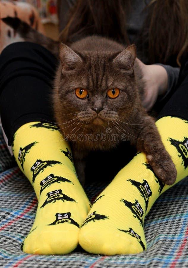 Muchacha adolescente con el gato escoc?s triste en las rodillas que se sientan en el sof? Calcetines amarillos con el modelo negr fotografía de archivo libre de regalías