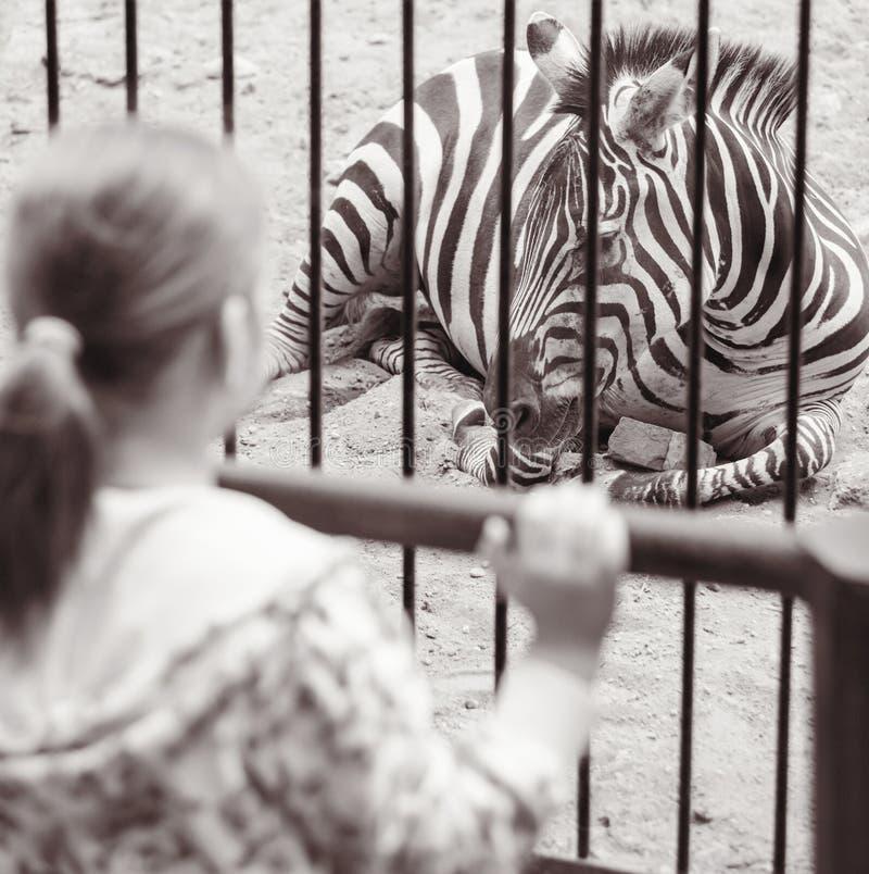 Muchacha cerca de una jaula con la cebra en parque zoológico fotos de archivo