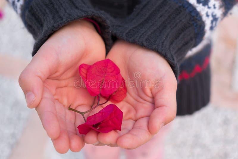 muchacha con los pétalos rojos de la flor en la palma de las manos fotografía de archivo
