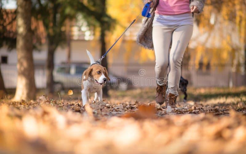 Muchacha con su perro del beagle que activa en parque fotografía de archivo