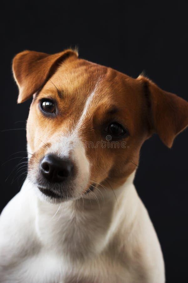 Muchacha Jack Russell del perro que mira lejos en fondo negro foto de archivo libre de regalías