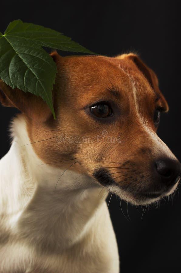 Muchacha Jack Russell del perro que mira lejos en fondo negro imagenes de archivo