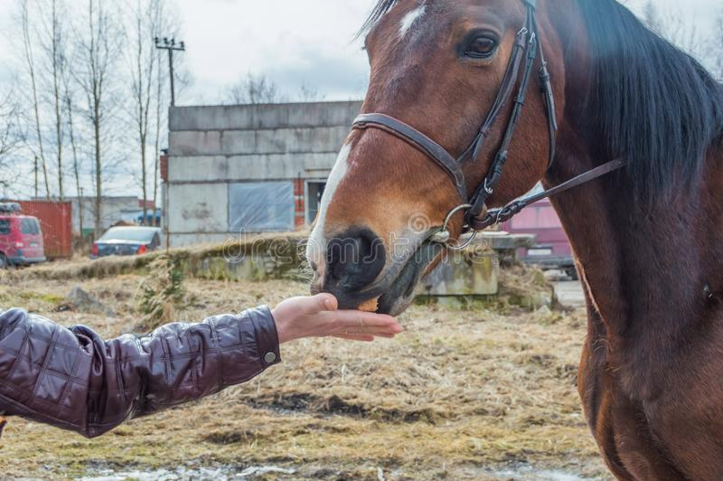 Muchacha mano-que alimenta un pan del caballo imagen de archivo libre de regalías