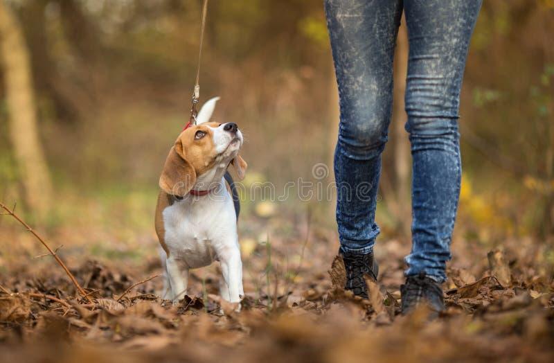 Muchacha que camina su perro del beagle fotografía de archivo libre de regalías