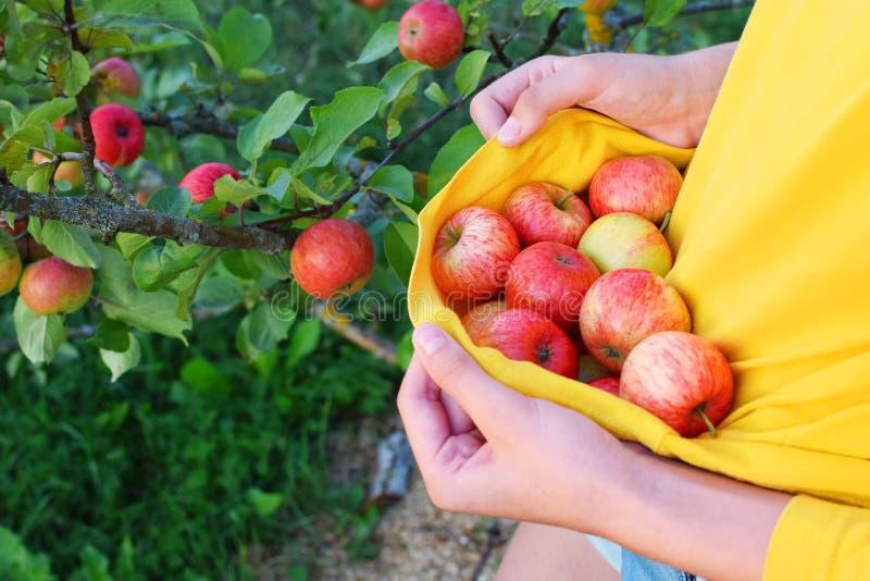 Muchacha que escoge manzanas maduras rojas del verano fotografía de archivo