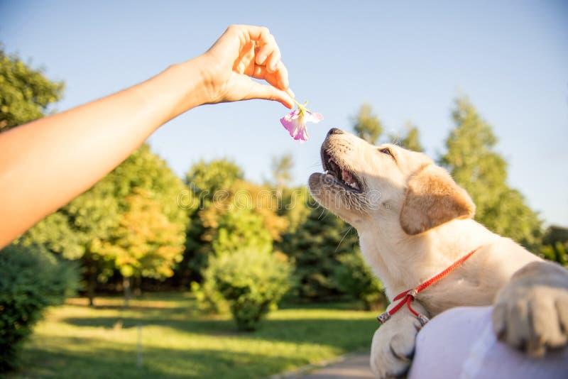Muchacha que juega con Labrador en el parque imagen de archivo
